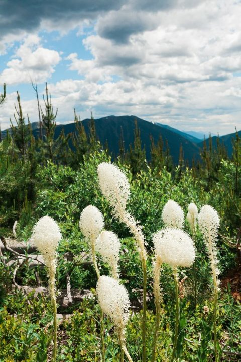 Bear Grass in Glacier NP