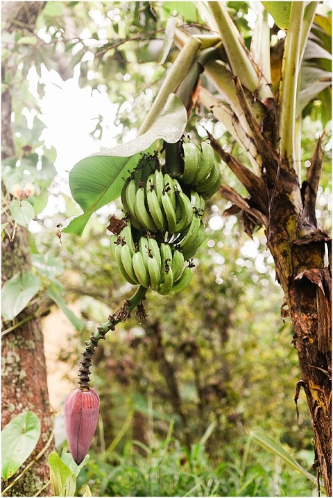 bananas in puerto rico