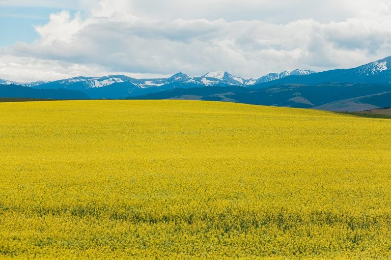 Yellow fields in Montana